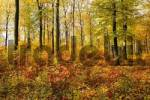 Thumbnail beech-tree forest with autumn foliage