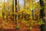Thumbnail beech-tree forest with autumn folige