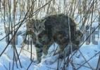 Thumbnail Amur wildcat / Felis euptilura. Ussuriland, Southern Far East of Russia