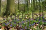 Thumbnail Violets Viola odorata in a spring forest with beech trees
