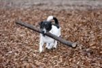 Thumbnail Dog, Jack Russell Terrier, with a big stick in his mouth, funny