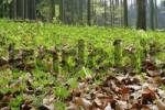Thumbnail Spring forest with woodruff Galium odoratum