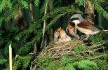 Thumbnail Red-backed Shrike (Lanius collurio), male feeding young birds in the nest, Allgaeu, Bavaria, Germany, Europe