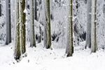 Thumbnail Snow-covered coniferous forest, Lindenberg, Switzerland, Europe