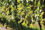 Thumbnail Vines with grape-vines in the sunlight