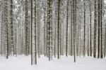 Thumbnail Pine forest in winter