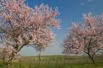 Thumbnail Almond blossom in the Palatinate, Rhineland-Palatinate, Germany, Europe