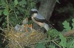 Thumbnail Lesser Gray Shrike (Lanius minor) adult feeding young in the nest, Hortobágy, Hungary, Europe