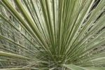 Thumbnail Great Plains yucca (Yucca glauca)