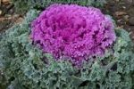 Thumbnail Decorative cabbage (Brassica oleracea var. acephata)