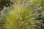 Thumbnail Chinese Pennisetum, Dwarf Fountain Grass (Pennisetum alopecuroides 'Hameln')