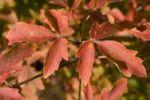 Thumbnail Paperbark maple (Acer griseum)