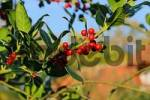 Thumbnail red berries of the Holly Ilex aquifolium