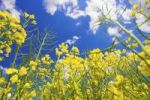 Thumbnail Blooming canola field, close-up, Burgenland, Austria, Europe