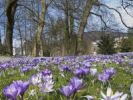 Thumbnail Crocuses (Crocus), crocus meadow in the spa park of Baden-Baden, Baden-Wuerttemberg, Germany, Europe