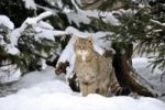 Thumbnail Wildcat (Felis silvestris) in winter