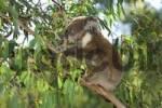 Thumbnail koala Phascolarctos cinereus, Australia
