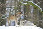 Thumbnail Mackenzie Valley Wolf, Alaskan Tundra Wolf or Canadian Timber Wolf (Canis lupus occidentalis), two wolves in the snow