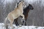 Thumbnail Playing young stallions, Norwegian Fjord horse, 2 years, and heavy warmblood, 2 years