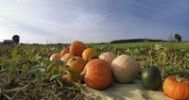 Thumbnail Harvested pumpkins in a pumpkin field
