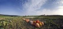 Thumbnail Harvested pumpkins in a pumpkin field with fluffy clouds