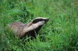 Thumbnail Badger (Meles meles) in dewy grass, Allgaeu, Bavaria, Germany, Europe