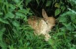 Thumbnail Fallow Deer (Dama dama) fawn, few days old, lying motionless in nettles, Mecklenburg, Germany, Europe