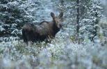 Thumbnail Moose cow (Alces alces) in the snow, Alberta, Canada