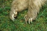 Thumbnail Claws on the front feet of a dead white badger (Meles meles), Allgaeu, Bavaria, Germany, Europe