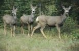 Thumbnail Mule deer (Odocoileus hemionus) with two fawns, Jasper National Park, Alberta, Canada