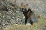 Thumbnail Beautifully colored red fox (Vulpes vulpes), Denali National Park, Alaska, USA