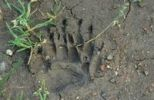 Thumbnail Badger (Meles meles), track, claw impression in soft soil