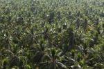 Thumbnail Forest of coconut palms, Malabarian Coast, Malabar, Kerala, India, Asia