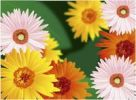 Thumbnail Illustration, chysanthemums