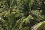 Thumbnail Coconut palms, Kerala, India, Asia