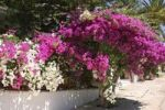 Thumbnail Bougainvillea (Bougainvillea), Crete, Greece, Europe