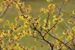 Thumbnail Blooming Witch Hazel (Hamamelis intermedia)