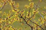 Thumbnail Blooming Witch Hazel (Hamamelis intermedia)