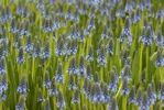 Thumbnail Armenian Grape Hyacinth (Muscari armeniacum)