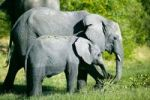 Thumbnail African elephant (Loxodonta africana) with young, Okavango Delta, Botswana, Africa