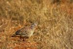 Thumbnail Crested Francolin (Francolinus sephaena) in savannah grass, Madikwe Game Reserve, South Africa, Africa