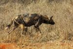 Thumbnail Female African Wild Dog (Lycaon pictus) on the prowl, Madikwe Game Reserve, South Africa, Africa