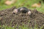 Thumbnail European Mole (Talpa europaea)