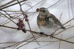 Thumbnail Fieldfare (Turdus pilaris)