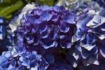 Thumbnail Blooming Hortensia, blue, Hydrangea macrophylla