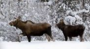 Thumbnail Moose (Alces alces), cow and calf in deep snow, Yukon Territory, Canada