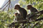 Thumbnail Rhesus macaques or Rhesus monkeys (Macaca mulatta), Courtallam, Western Ghats, Tamil Nadu, Tamilnadu, South India, India, Asia