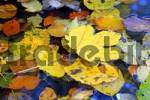 Thumbnail Autumnal leaves are swimming on water surface