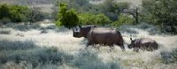 Thumbnail Black rhinoceros or Hook-lipped rhinoceros (Diceros bicornis) with young, Damaraland, Namibia, Africa