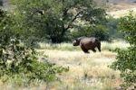Thumbnail Black rhinoceros or Hook-lipped rhinoceros (Diceros bicornis), Damaraland, Namibia, Africa